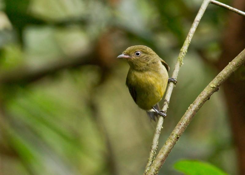 WIRE-TAILED MANAKIN - Pipra filicauda -<br /> Cuyabeno, December 2015, Sucumbíos, Ecuador