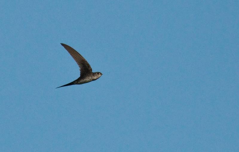 NEOTROPICAL PALM SWIFT - Tachornis squamata -<br /> Limoncocha, August 2015, Sucumbíos, Ecuador