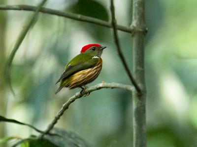 WESTERN STRIPED MANAKIN - Machaeropterus regulus - Gareno, Oct 2017, Napo, Ecuador