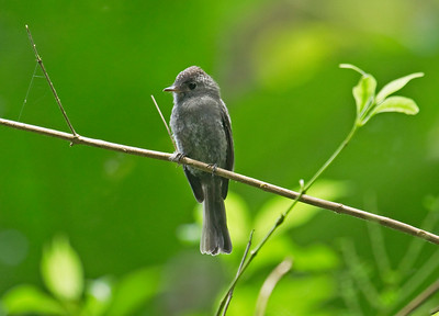 BLACKISH PEWEE - Contopus nigrescens - Rio Bigal, Sept 2017, Napo, Ecuador