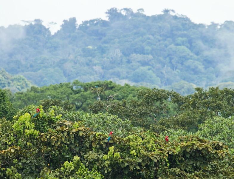 RED-AND-GREEN MACAW - Ara chloropterus -<br /> Napo Wildlife Center, 20 July 2014, Orellana, Ecuador