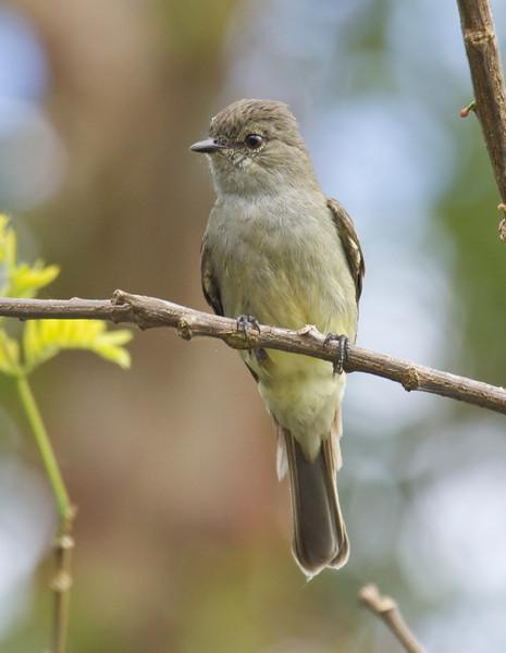 AMAZONIAN SCRUB-FLYCATCHER - Sublegatus obscurior -<br /> Zancudococha, 26 June 2013, Orellana, Ecuador