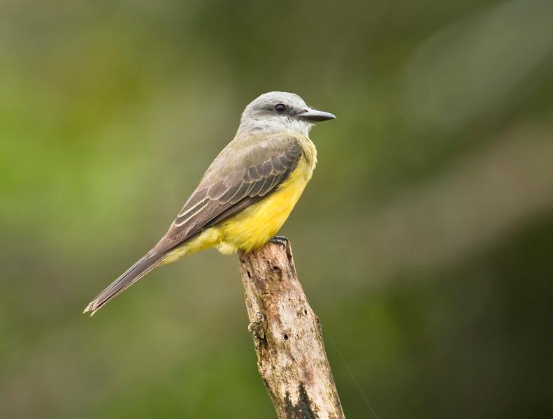 TROPICAL KINGBIRD - Tyrannus melancholicus -<br /> Parque Perla, Lago Agrio, 12 Dec 2014, Sucumbíos, Ecuador