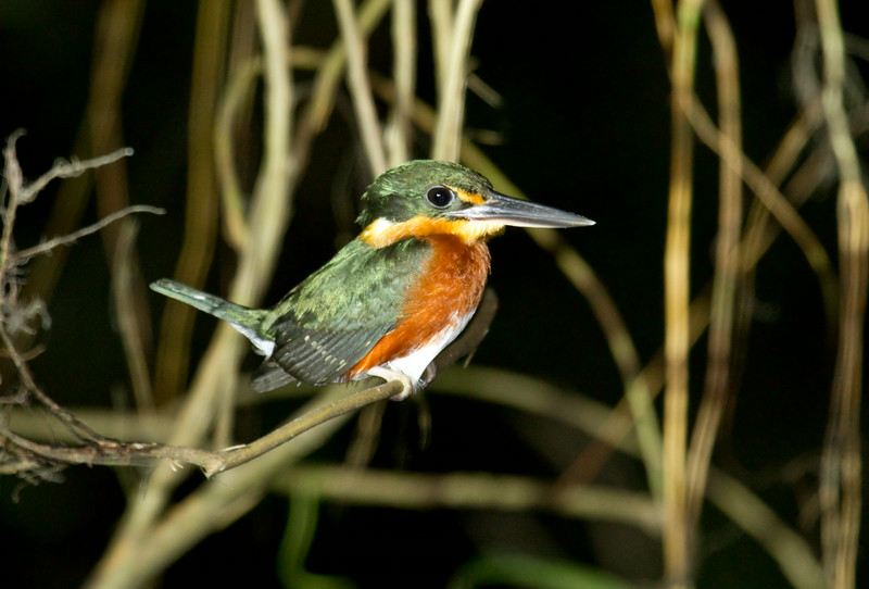 AMERICAN PYGMY KINGFISHER - Chloroceryle aenea -<br /> Napo Wildlife Center, 19 July 2014, Orellana, Ecuador