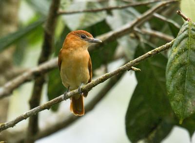 CINNAMON BECARD - Pachyramphus cinnamomeus - Amagusa Reserve, Mashpi, April 2017, Pichincha, Ecuador