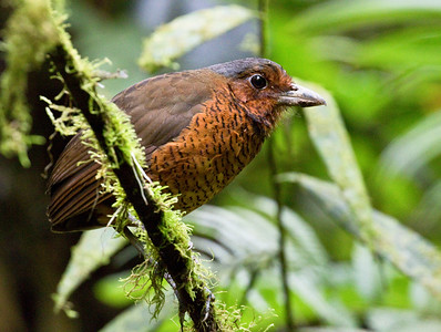 GIANT ANTPITTA - Grallaria gigantea - Refugio Paz de las Aves, April 2018, Pichincha, Ecuador