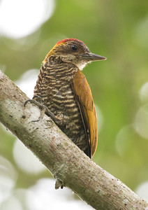 RED-RUMPED WOODPECKER - Veniliornis kirkii - Rio Silanche, November 2018, Pichincha, Ecuador