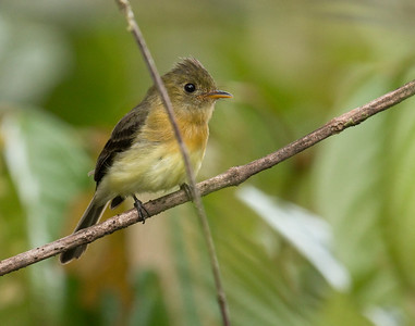 NORTHERN TUFTED FLYCATCHER - Mitrephanes phaeocercus - Awa reserve, Alto Tambo, October 2015, Esmeraldas, Ecuador