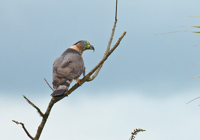 HOOK-BILLED KITE - Chondrohierax uncinatus - Rio Silanche, April 2017, Pichincha, Ecuador