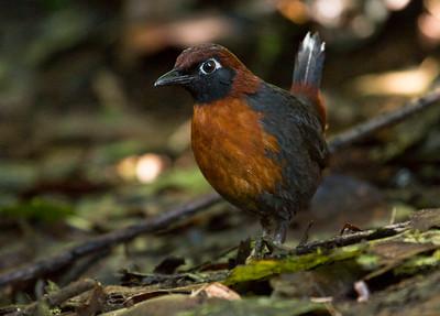 RUFOUS-BREASTED ANTTHRUSH - Formicarius rufipectus - Refugio Paz de las Aves, 5 February 2015, Pichincha, Ecuador