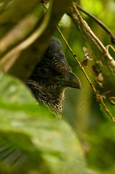 BANDED GROUND-CUCKOO - Neomorphus radiolosus -<br /> Bilsa, October 2011, Esmeraldas, Ecuador