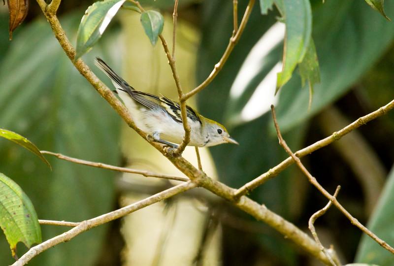 CHESTNUT-SIDED WARBLER - Setophaga pensylvanica -<br /> El Monte, Mindo, 20 Dec 2014, Pichincha, Ecuador. First documented record for Ecuador.