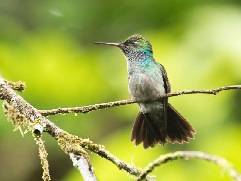 BLUE-CHESTED HUMMINGBIRD - Amazilia amabilis -<br /> Rio Silanche, 6 February 2015, Pichincha, Ecuador