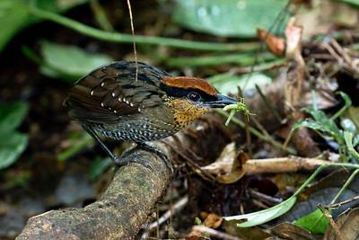 RUFOUS-CROWNED ANTPITTA - Pittasoma rufopileatum - Mashpi Shungo, September 2018, Pichincha, Ecuador