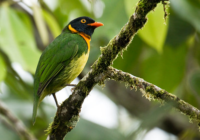 ORANGE-BREASTED FRUITEATER - Pipreola jucunda -  Mashpi, 9 February 2015, Pichincha, Ecuador