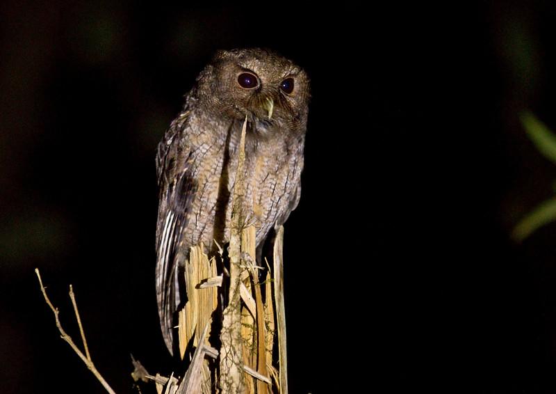 COLOMBIAN SCREECH-OWL - Megascops colombianus -<br /> Reserva Las Gralarias, October 2015, Pichincha, Ecuador
