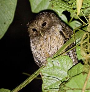 COLOMBIAN SCREECH-OWL - Megascops colombianus - Reserva Las Gralarias, September 2018, Pichincha, Ecuador