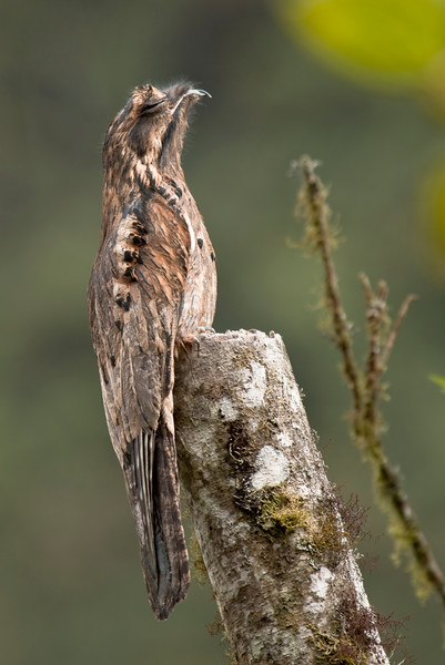 COMMON POTOO - Nyctibius griseus -<br /> Septimo Paraiso, Mindo, 20 Dec 2014, Pichincha, Ecuador