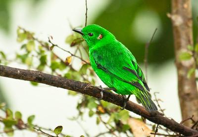 GLISTENING-GREEN TANAGER - Chlorochrysa phoenicotis - Mashpi, February 2015, Pichincha, Ecuador