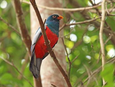 SLATY-TAILED TROGON - Trogon massena - Yalare, 22 March 2015, Esmeraldas, Ecuador
