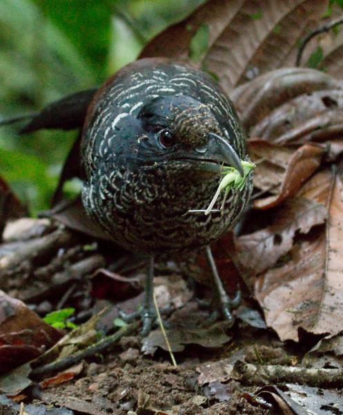 BANDED GROUND-CUCKOO - Neomorphus radiolosus -<br /> Un Poco del Chocó, 27 Nov 2014, Pichincha, Ecuador