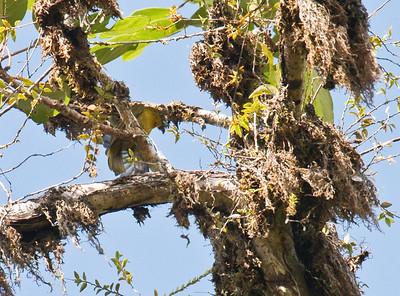 YELLOW-GREEN BUSH-TANAGER - Chlorospingus flavovirens -  Awa reserve, Alto Tambo, October 2015, Esmeraldas, Ecuador