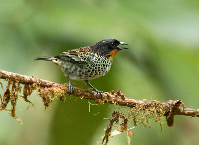 RUFOUS-THROATED TANAGER - Tangara rufigula - Amagusa Reserve, Mashpi, April 2017, Pichincha, Ecuador