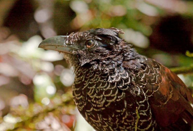 BANDED GROUND-CUCKOO - Neomorphus radiolosus -<br /> Un Poco del Choco, 25 Sept 2012, Pichincha, Ecuador