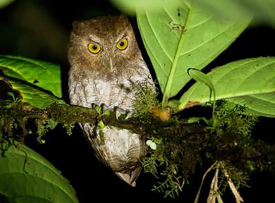 CHOCO SCREECH-OWL - Megascops centralis - Playa de Oro, Aug 2017, Esmeraldas, Ecuador