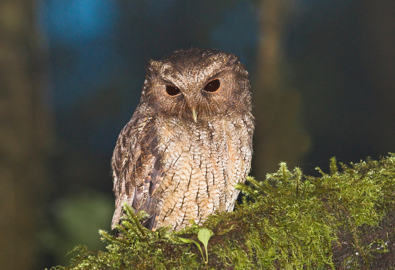 COLOMBIAN SCREECH-OWL - Megascops colombianus -<br /> Reserva Las Gralarias, January 2015, Pichincha, Ecuador