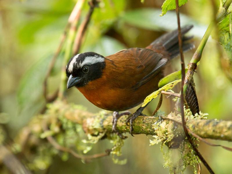 TANAGER FINCH - Oreothraupis arremonops -<br /> Bellavista, 10 February 2015, Pichincha, Ecuador