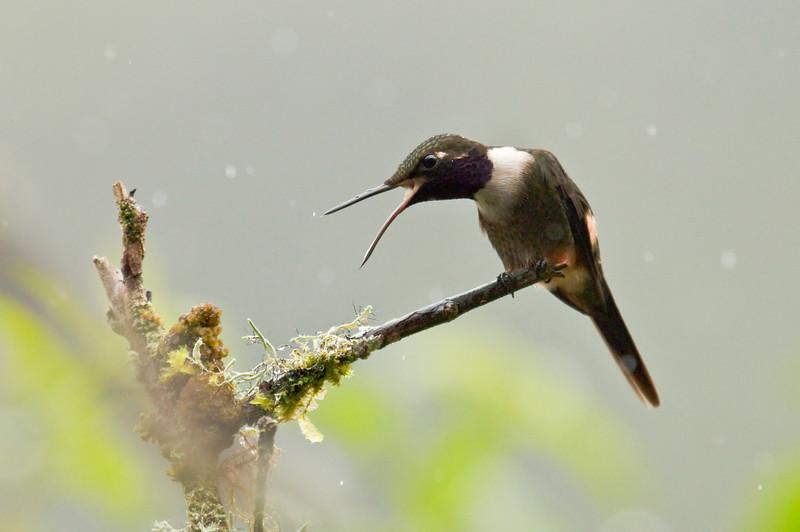 PURPLE-THROATED WOODSTAR - Calliphlox mitchellii -<br /> Rio Alambi, 10 February 2015, Pichincha, Ecuador
