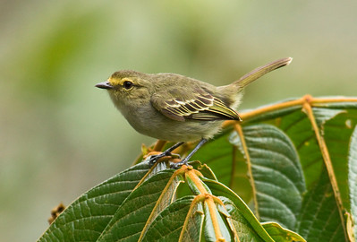 GOLDEN-FACED TYRANNULET - Zimmerius chrysops - Hacienda Primavera, October 2015, Carchi, Ecuador