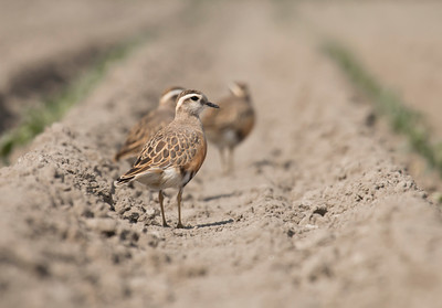 EURASIAN DOTTEREL - Charadrius morinellus - Eemshaven, May 2016, Groningen, The Netherlands