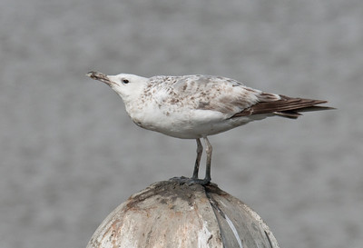 CASPIAN GULL - Larus cachinnans - Termunterzijl, May 2015, Groningen, The Netherlands