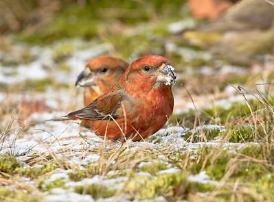 PARROT CROSSBILL - Loxia pytyopsittacus - Hoekenbrink, 28 Feb 2018, Drents-Friese Wold, Drenthe, The Netherlands
