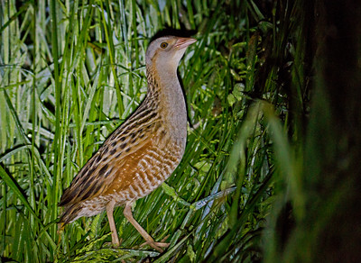 CORN CRAKE - Crex crex - Groningen, May 2016, The Netherlands