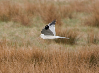PALLID HARRIER - Circus macrourus - Onlanden, 30 March 2018, Drenthe, The Netherlands