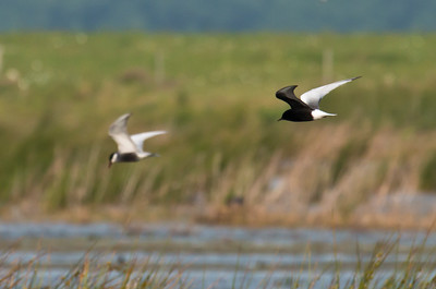 WHITE-WINGED BLACK TERN - Chlidonias leucopterus - Dannemeer, May 2016, Groningen, The Netherlands