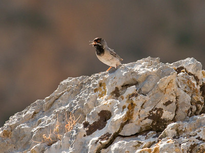 RUPPELL'S WARBLER - Sylvia rueppelli - Kourtaliotiko Gorge, May 2015, Crete, Greece