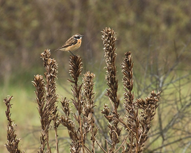 WHINCHAT - Saxicola rubetra - Eemshaven, May 2015, Groningen, The Netherlands