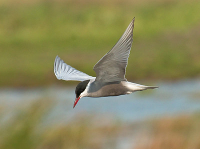 WHISKERED TERN - Chlidonias hybrida - Dannemeer, May 2016, Groningen, The Netherlands