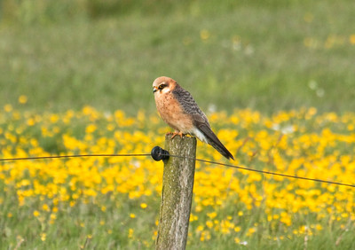 RED-FOOTED FALCON - Falco vespertinus - Onlanden, May 2016, Drenthe, The Netherlands
