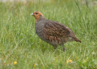 GREY PARTRIDGE - Perdix perdix - Eemshaven, May 2015, Groningen, The Netherlands