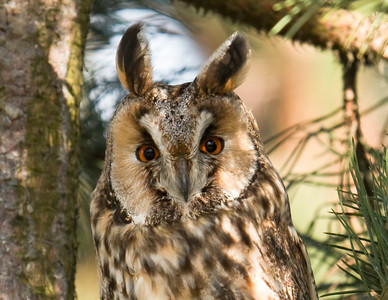 LONG-EARED OWL - Asio otus - Eemshaven, May 2015, Groningen, The Netherlands