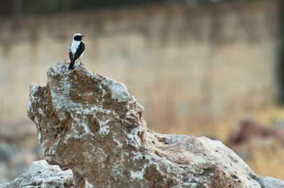 EASTERN BLACK-EARED WHEATEAR - Oenanthe hispanica melanoleuca - Ghania, May 2015, Crete, Greece