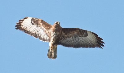 COMMON BUZZARD - Buteo buteo - Eemshaven, May 2016, Groningen, The Netherlands