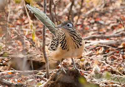LESSER ROADRUNNER - Geococcyx velox - Motagua valley, January 2017, Guatemala