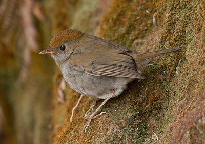 RUDDY-CAPPED NIGHTINGALE-THRUSH - Catharus frantzii - Fuentes Georginas, January 2017, Guatemala