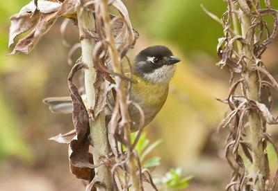 COMMON BUSH-TANAGER - Chlorospingus flavopectus - Fuentes Georginas, January 2017, Quetzaltenango, Guatemala